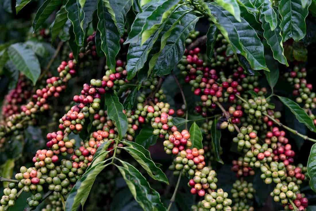 Specialty Coffee fruit